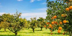 Pior praga da laranja avança e gera eliminação de 10 milhões de pés em SP e MG